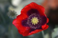 Papaver (Rene Mensen) Tags: red nikon purple geel rood klaproos papaver paars d5100