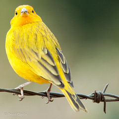 Canrio no arame (Ivan Costa) Tags: bird nature yellow wire wildlife natureza amarelo finch sp vida ave barbed socorro canario selvagem arame farpado