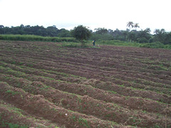 Well ridged hectare of land for cassava establ...