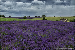 Lavender Patchwork (angeladj1) Tags: flowers lavender fields worcestershire snowshill