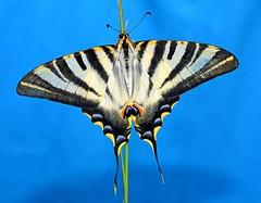 130730 214846.R (easaphoto) Tags: amarillo mariposa multicolor iphiclidesfeisthamelii