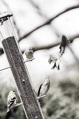 DSC_0998 (AshesAndDust) Tags: food bird birds gold flying fight flight attack seed feeder finch perch feed combat avian confrontation discord altercation