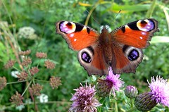 """Peacock Butterfly... • <a style=""""font-size:0.8em;"""" href=""""http://www.flickr.com/photos/57024565@N00/9485528598/"""" target=""""_blank"""">View on Flickr</a>"""