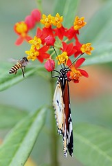 Everyone has their share in this world. Let's strive for a peaceful world! Happy Independence Day to all Indians!!! (...Sathiya) Tags: red orange plants plant flower color green colors leaves yellow butterfly suck leaf wings eyes legs eating leg bee eat honey flies bud antenna