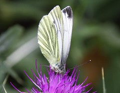 Green Veined White Butterfly (Chrissie28IWish! ~ hubby passed away 5th Dec peace) Tags: white black macro green eye closeup butterfly insect petals wings purple legs bokeh thistle lepidoptera antennae proboscis veined 2013b