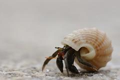 DSC_9718 (enekotas) Tags: macro fauna crab hermit cangrejo ermitaño