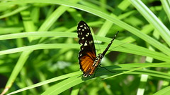 """Butterfly On Skinny Green Leaves 1 • <a style=""""font-size:0.8em;"""" href=""""http://www.flickr.com/photos/77994446@N03/9642890978/"""" target=""""_blank"""">View on Flickr</a>"""