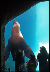 Giant Seal (See El Photo) Tags: blue people brown color colour water girl kids digital swimming swim canon giant mammal eos rebel zoo big colorful colore underwater shadows looking hugh fat large teens grand seal huge awe flippers couleur fins tons t1i