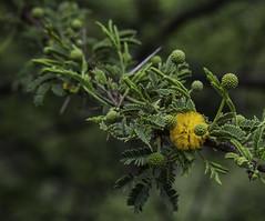 Amarilla del valle del Motagua (ChinoEstrada) Tags: arbol guatemala flor bosque silvestre amarilla elprogreso greenbeautyforlife sanagustinacasaguastlan