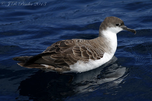"""Great Shearwater, Scilly Pelagic 110813 (J.Pender) • <a style=""""font-size:0.8em;"""" href=""""http://www.flickr.com/photos/30837261@N07/9731783460/"""" target=""""_blank"""">View on Flickr</a>"""
