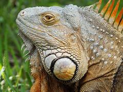 Ctenosaura similis (norbesc) Tags: iguana elsalvador garrobo imagesofelsalvador