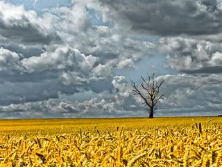 Tree-Mendous Wheat Field