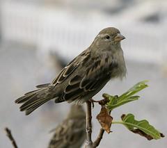 Sparrow Francais (Adam Swaine) Tags: france english beautiful birds canon photography sparrow southoffrance 2012 naturelovers gardenbirds 24105mm swaine thisphotorocks adamswaine mostbeautifulpicturesmbppictures wwwadamswainecouk
