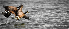 Canadian geese take off (D-TaiL) Tags: bird geese nikon flickr flight off canadian take stlaurent fleuve bernacheducanada abigfave d7000 dtailvision