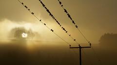 Dawn Chorus (Elisafox22) Tags: morning mist birds chorus lens dawn sony telephoto wires ritual heavy overnight 55210mm nex6 elisafox22