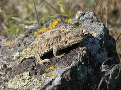 Horny Toad 2045 (Jeff Brough) Tags: reptile idaho toad horny horn horned jeffbrough