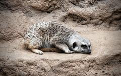"""Leave me alone"" (rejphoto) Tags: mammal meerkat sanfranciscozoo"