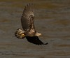 Eagle (snooker2009) Tags: lake fish bird fall nature birds sunrise outdoors fishing eagle wildlife flight bald getty migration d800 thewonderfulworldofbirds photocontesttnc12 photoofthedaynwf12 dailynaturetnc13