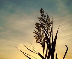 Giving (Marie Granelli) Tags: november autumn silhouette skåne explore söderslätt sooc nikons8000