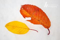 Autumn... (F. Prieto // fprieto.es) Tags: autumn winter snow cold fall blanco leaves hojas nieve otoo invierno frio fernandoprieto nikond5000