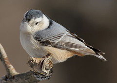 Sad Face White Breasted Nuthatch (Diane Marshman) Tags: white tree bird nature face birds dark wings eyes branch breast head pennsylvania wildlife chest side small birding gray picture belly pa upper underneath northeast nuthatch northeastern breasted