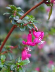 Fuchsia microphylla (Tiggrx) Tags: pink flower herefordshire shrub onagraceae fuchsiamicrophylla stanfordbishop