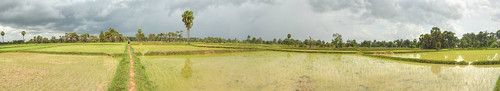 Paddy Field Cambodia Panorama