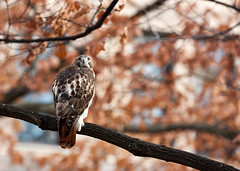 "Red Tailed Hawk - on the Diag • <a style=""font-size:0.8em;"" href=""http://www.flickr.com/photos/30765416@N06/11393266434/"" target=""_blank"">View on Flickr</a>"