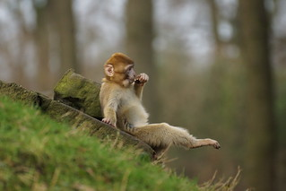 Stay cool - Have a break (pt.1)...Barbary Macaque
