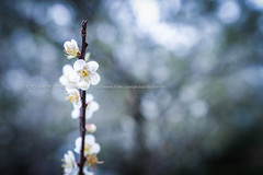 () Tags: canon  plumblossom plumflower   2470mmf28l 1dx  whiteplumflower 7