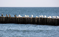 front row : cormorants and seagulls (kexi) Tags: blue sea seagulls water birds cormorants many horizon january samsung row balticsea baltic 2014 ptaki chalupy instantfave mewy kormorany wb690