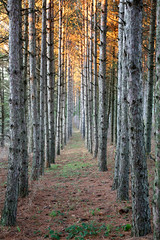Pine Plantation at dusk (annemconnor@yahoo.com) Tags: sunset tree fall vertical pinetree pine wisconsin forest evening woods midwest afternoon floor dusk nobody row plantation tall copyspace forestfloor pineneedle walkingpath beautyinnature
