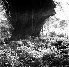 20140207-03420009.jpg (ClifB) Tags: winter flower tree tlr film dorset february f56 nationaltrust snowdrop 1125 rolleicord kingstonlacy kodaktrix400 rolleicordvak3etype2 hoyayellowk2 film022014