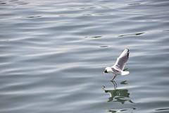Seagull's landing (Eric GC) Tags: barcelona mar seagull gaviota