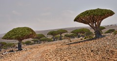 Dragon's Blood Trees, Socotra Island (Rod Waddington) Tags: road trees tree rock stone landscape island blood ancient dragons yemen endangered endemic rare dracaena socotra cinnabari