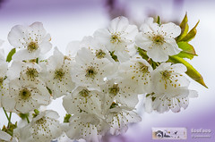 VALLE DEL JERTE. EXTREMADURA. ESPAA (EcoFoco juanma.coria) Tags: espaa naturaleza flores detalle macro primavera flora rbol montaa extremadura cerezo valledeljerte cerezoenflor valdastillas valdastilla