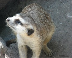 "MERKAT 289 (Dancing with Ghosts Graphics) Tags: copyright cute animal mammal meerkat pups small gang mob clan mongoose angola sentry suricate burrows suricatta desert"" diurnal 2013 10x8 fawncolored herpestid iteroparous ""kalahari ""namib debbrawalker feliform dancingwghosts ""suricata suricatta"" ""botswana"" oraging siricata"" majoriae"" iona"""