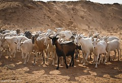 Troupeau (Graffyc Foto) Tags: nikon algerie seguin f28 monsieur 1755 d300 chevres troupeau laghouat troupeaux caprins