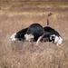 ostrich | Afrikanischer Strauß (Struthio camelus) - Ngorongoro-Krater - Tansania