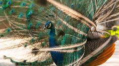 must be that spring its coming :) (milachirolde) Tags: aves peackocs outdoor naturaleza fauna spring letsexplore colorful colorido nationalgeografic natgeo