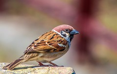 Winter sparrow (Changer4Ever) Tags: nikon d7200 nikkor bird animal life nature season wild wildlife color bokeh dof depthoffield light bright feather wings outdoor winter sparrow