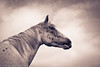 Colorado (Alexandracmoi) Tags: horse horsephotography horsephotoshhot horsepicture horseimage equine equestrian equinephotography equestrianphotography equus epona earth exploring essence nature animal
