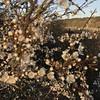 Meidoorn (klaroen) Tags: meidoorn hawthorn noordhollandsduinreservaat