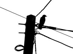 Bird on a Wire (uk_dreamer) Tags: nature natur bird wildlife black white blackwhite bw noire silhouette wires lines noiretblanc