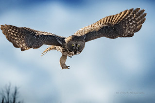 Great Gray Owl / Chouette Lapone / Strix nebulosa
