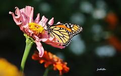 come softly to my garden -- Wanna Be Warmer Wednesday (judecat ( celebrating spring)) Tags: flower zinnia butterfly nature wildlife wannabewarmerwednesday monarchbutterfly