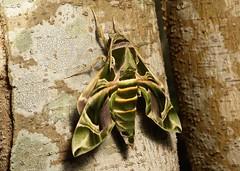 Oleander Hawk Moth (Daphnis nerii, Sphingidae) (John Horstman (itchydogimages, SINOBUG)) Tags: insect macro china yunnan itchydogimages sinobug moth lepidoptera hawk sphinx oleander sphingidae topf25 topf50 tumblr entomology