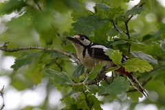 Great-spotted Woodpecker (Dendrocopus major) (Brian Carruthers-Dublin-Eire) Tags: woodpeckers picidae dendrocopos major great spotted woodpecker pic epeiche buntspecht carpintero picapinos grote bonte specht mórchnagaire breac piciformes bird animalia animal dendrocoposmajor greatspottedwoodpecker picepeiche carpinteropicapinos grotebontespecht wildlife