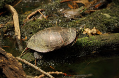 "A little turtle (*Millie* ""Catching up slowly"") Tags: turtle wildwoodpark harrisburg pennsylvania canal outdoors shell map nature animalplanet"