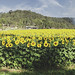 Wollombi Sunflowers